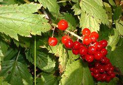 ягода воронец красноплодный