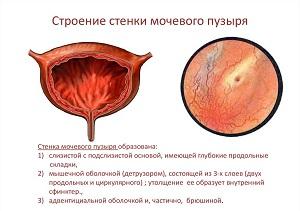 мочевой пузырь строение и функции