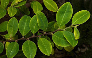листья кокаинового дерева