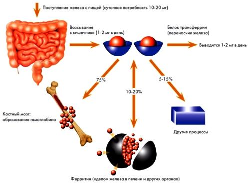 схема обмена железа в организме человека