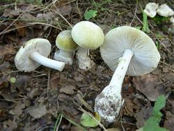 гриб бледная поганка