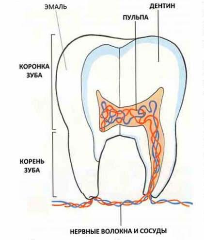Удаление зубов у детей. Есть ли в молочных зубах нервы?