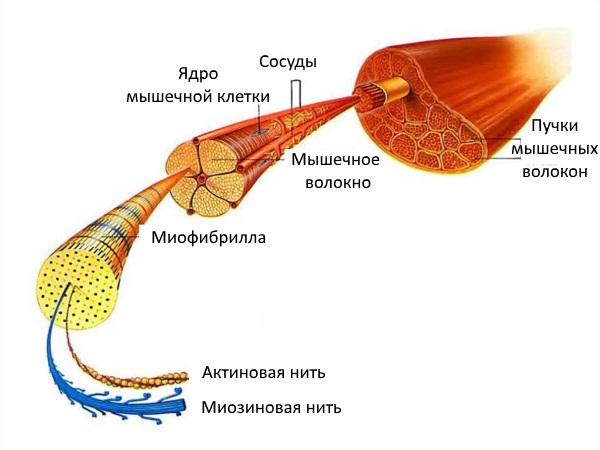 Строение мышечной ткани, актиновая и миозиновая нити