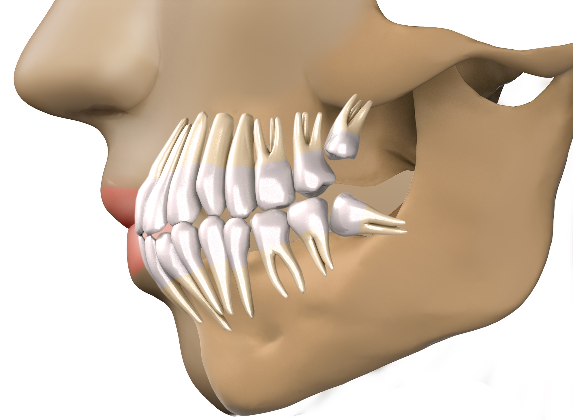 А вы знаете, сколько может вырасти зубов мудрости у человека? У всех по-разному