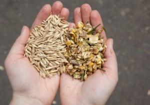 зерновые культуры в руках