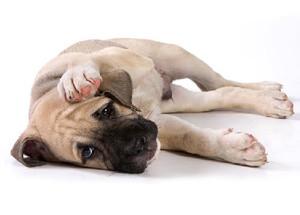 слабость у собак