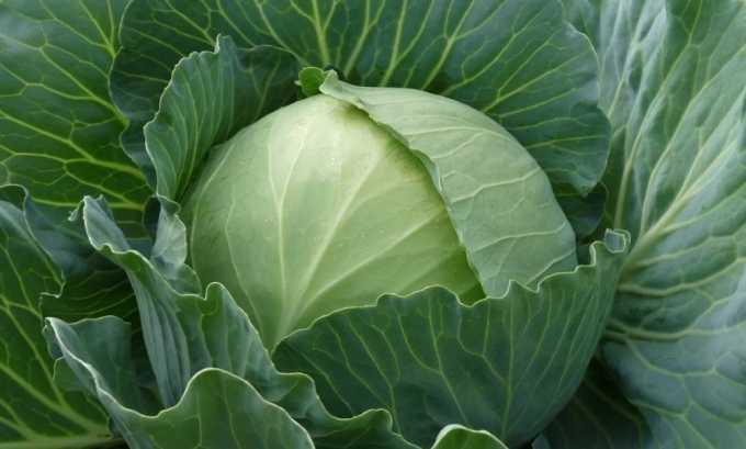 Из овощей в меню при диете не должно быть белокочанной капусты