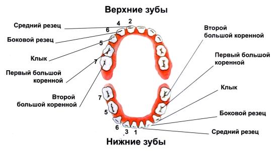 Когда ждать коренные зубы у детей